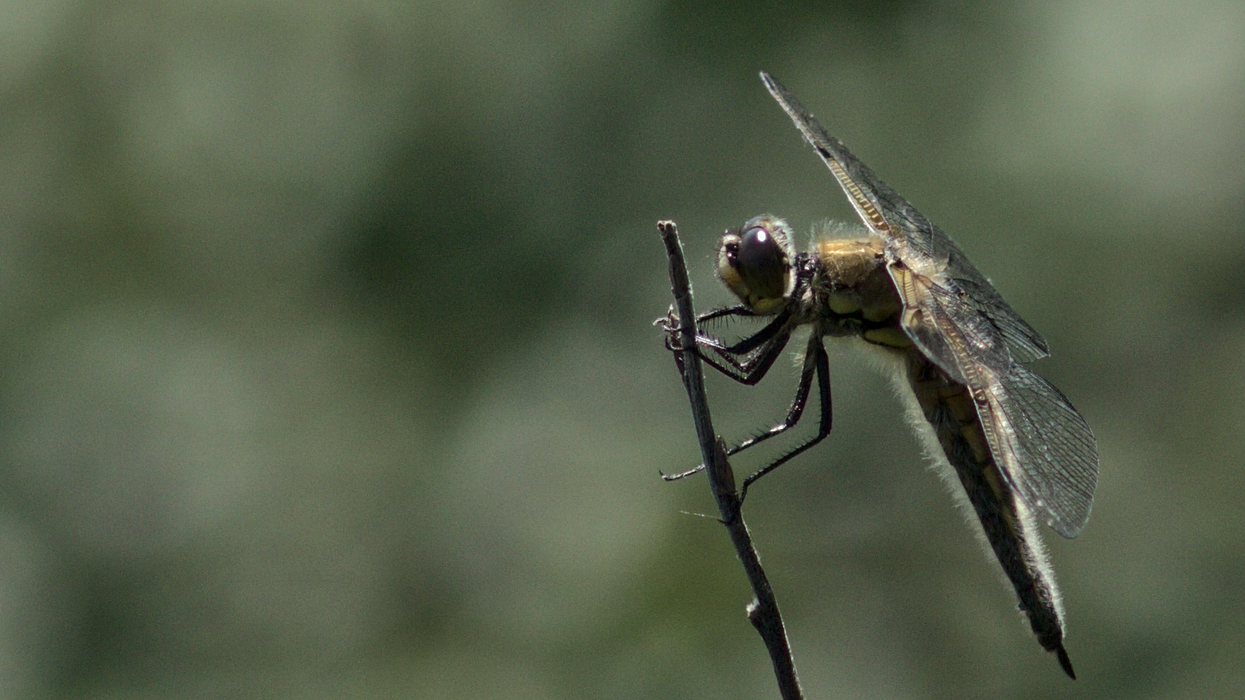 Dragonfly // Sudenkorento