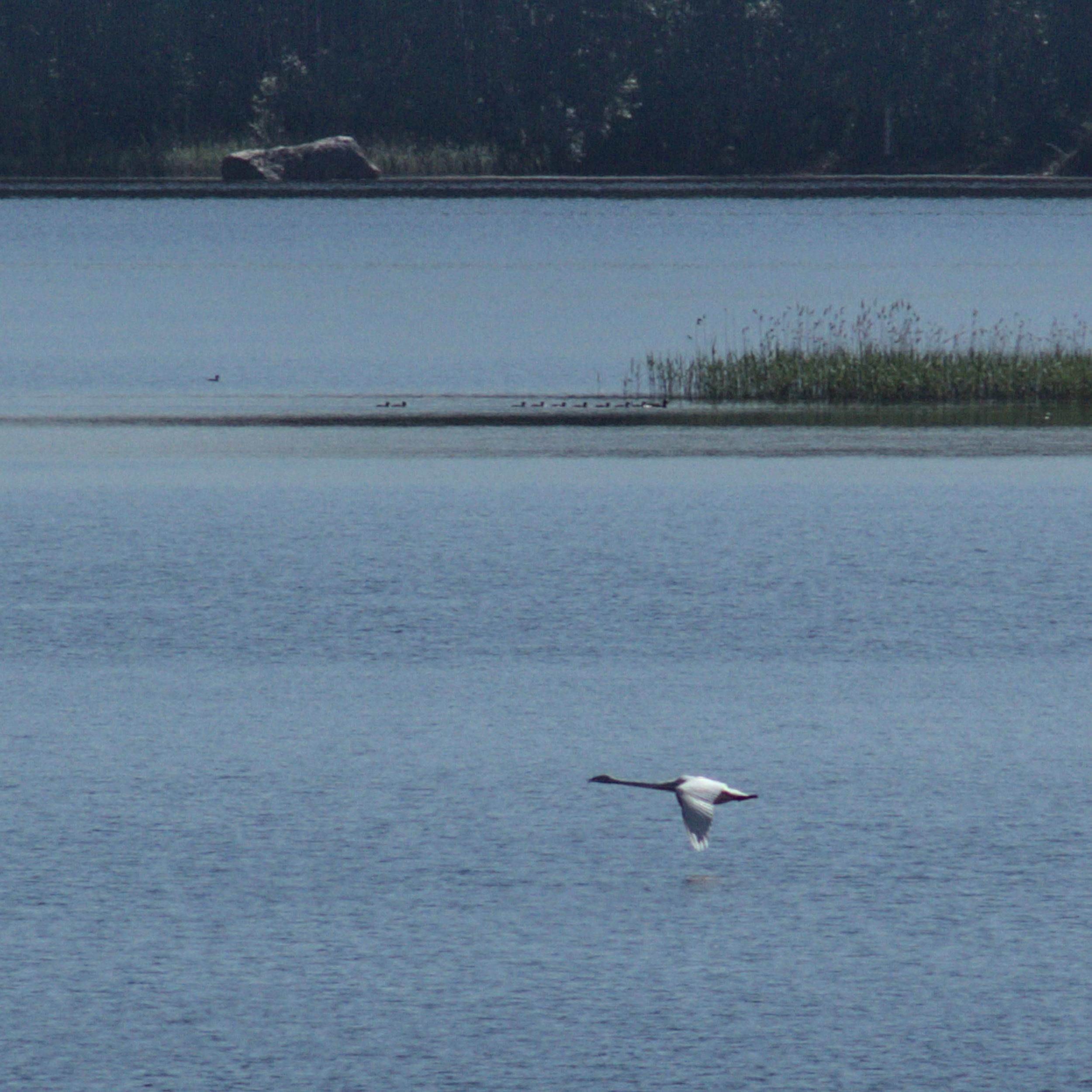 Whooping swan // Laulujoutsen